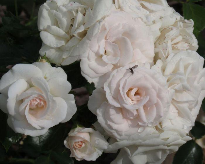 роза аспирин фото и описание яичную скорлупу золотой